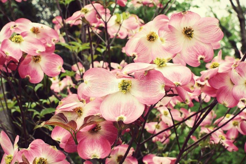 Flores cor-de-rosa do corniso foto de stock royalty free