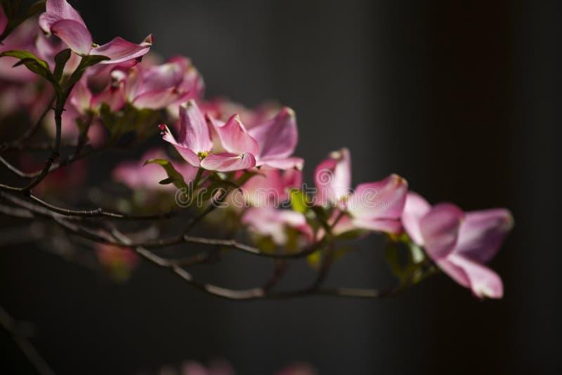 Flores cor-de-rosa do corniso durante a mola na luz solar direta foto de stock royalty free