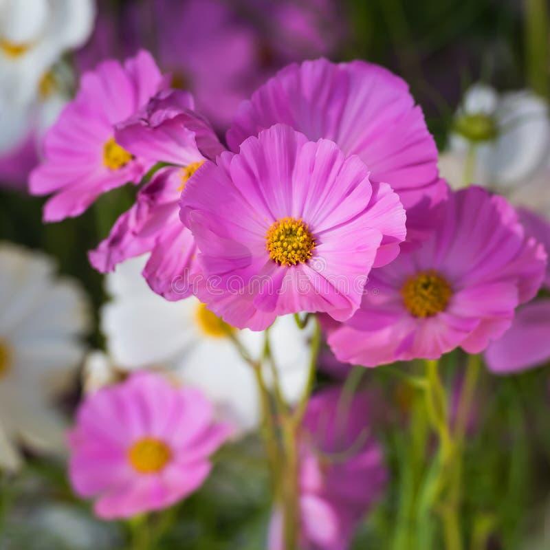 Flores cor-de-rosa do cosmos fotografia de stock royalty free