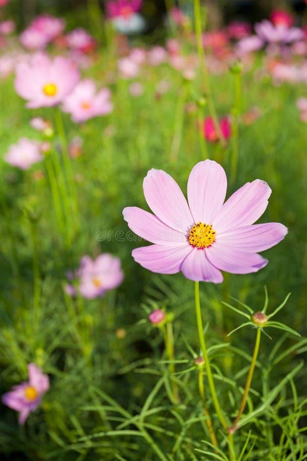 Flores cor-de-rosa do cosmos imagens de stock royalty free
