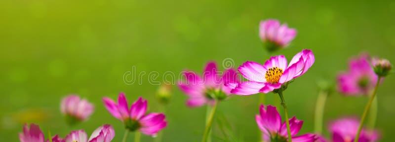 Flores cor-de-rosa do cosmos no jardim fotografia de stock