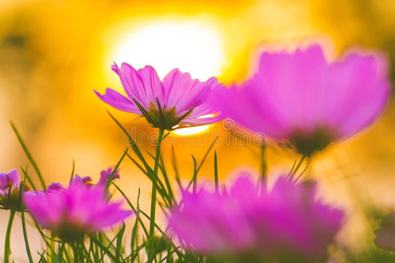 Flores cor-de-rosa do cosmos no por do sol, foco macio imagens de stock