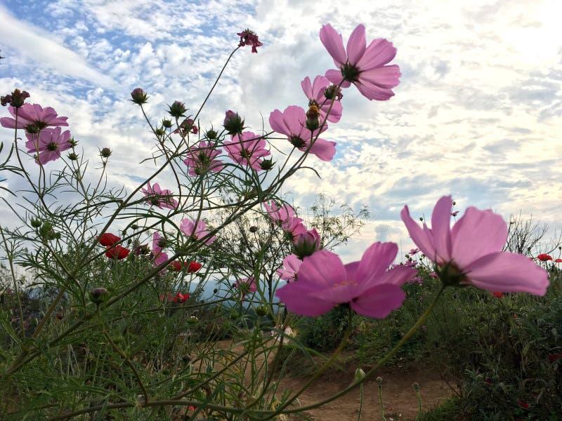 Flores cor-de-rosa do cosmos que florescem no jardim sob o céu azul fotos de stock