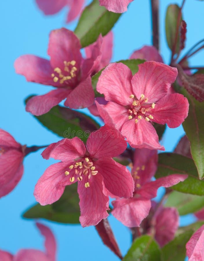 Flores cor-de-rosa do crabapple foto de stock royalty free