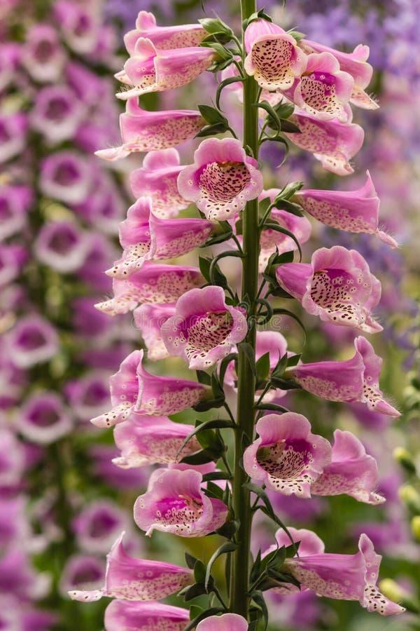 Flores cor-de-rosa do Foxglove imagens de stock royalty free