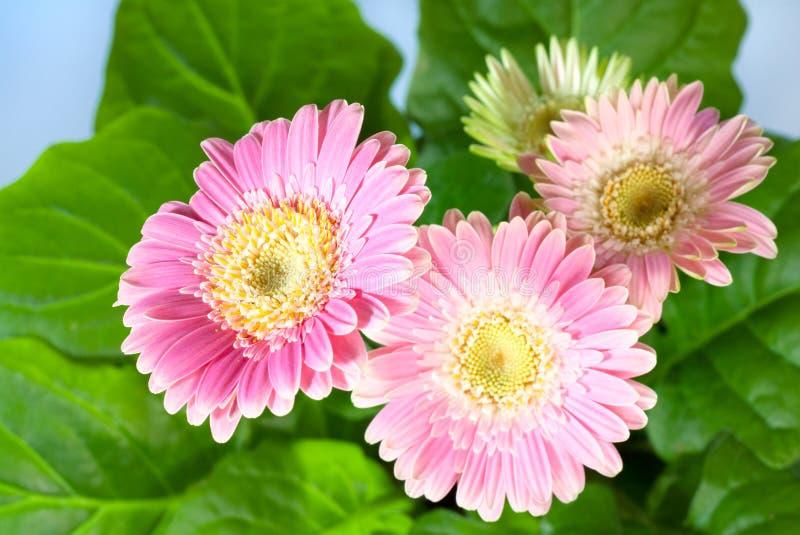 Flores cor-de-rosa do gerbera fotografia de stock royalty free