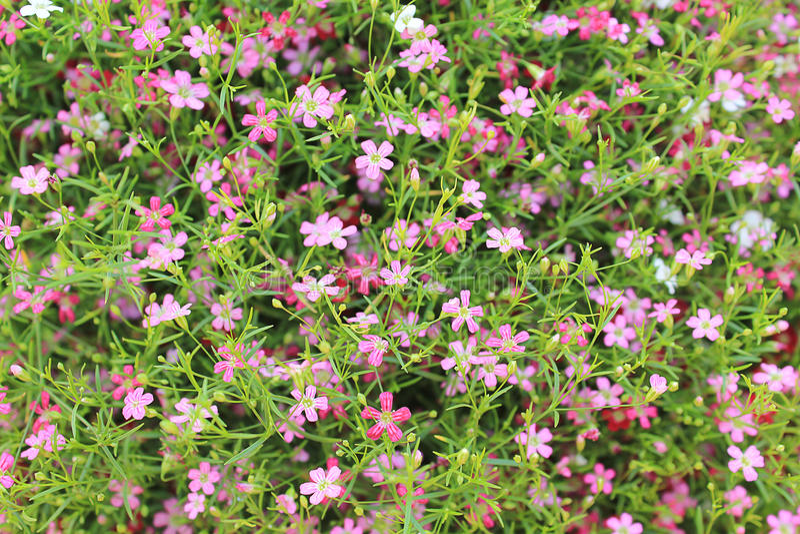 Flores cor-de-rosa do Gypsophila foto de stock royalty free