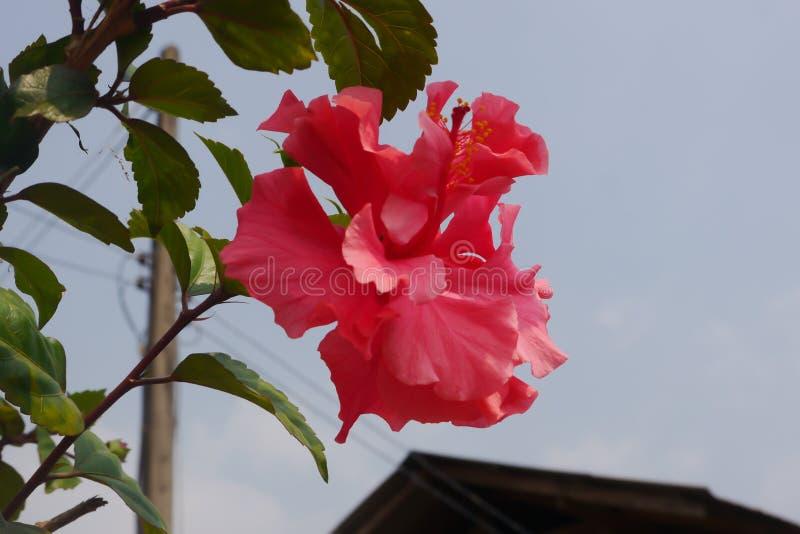 Flores cor-de-rosa do hibiscus em Tailândia rural foto de stock royalty free