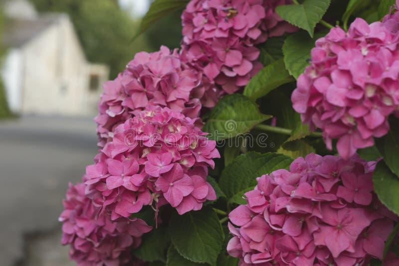 Flores cor-de-rosa do hortensia imagem de stock