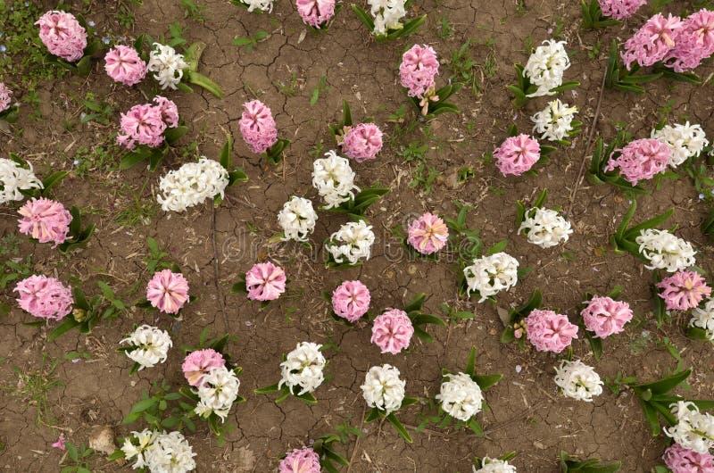 Flores cor-de-rosa do jacinto no canteiro de flores, de cima de imagem de stock