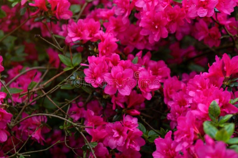 Flores cor-de-rosa do japonica da azálea, rododendro como o fundo da natureza fotos de stock