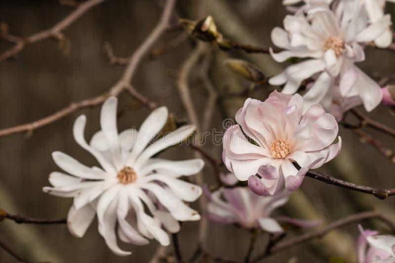 Flores cor-de-rosa do magnolia imagens de stock royalty free
