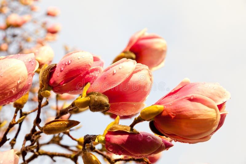 Flores cor-de-rosa do magnolia com pingos de chuva e vento imagem de stock