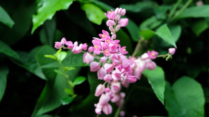 Flores cor-de-rosa do mezereum de Daphne conhecidas geralmente como o louro de spurge do mezereum do mezereon do daphne de fevere fotos de stock