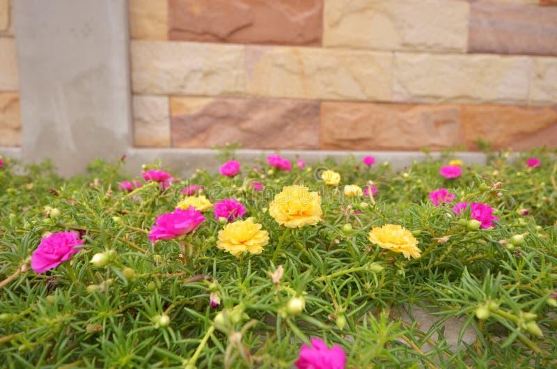 Flores cor-de-rosa do musgo cor-de-rosa e amarelo com folhas imagens de stock royalty free