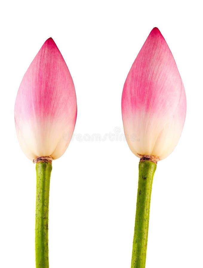 Flores cor-de-rosa do nucifera do Nelumbo, fim acima, fundo isolado, branco imagem de stock