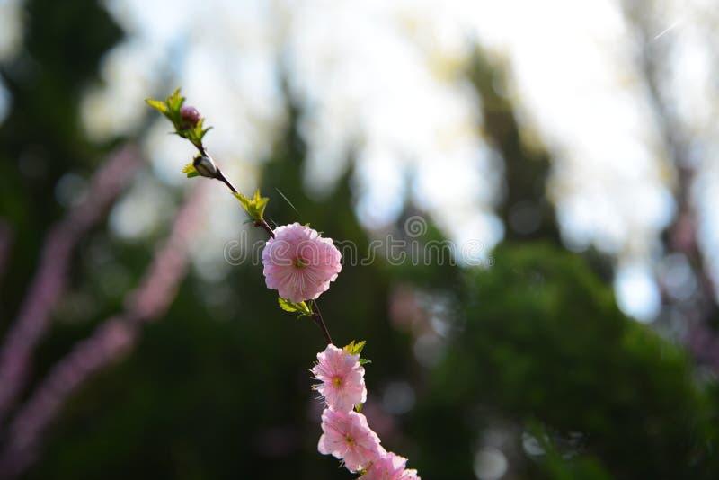 Flores cor-de-rosa do p?ssego na luz traseira imagens de stock royalty free