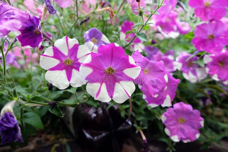 Flores cor-de-rosa do petúnia com pontos brancos fotos de stock royalty free