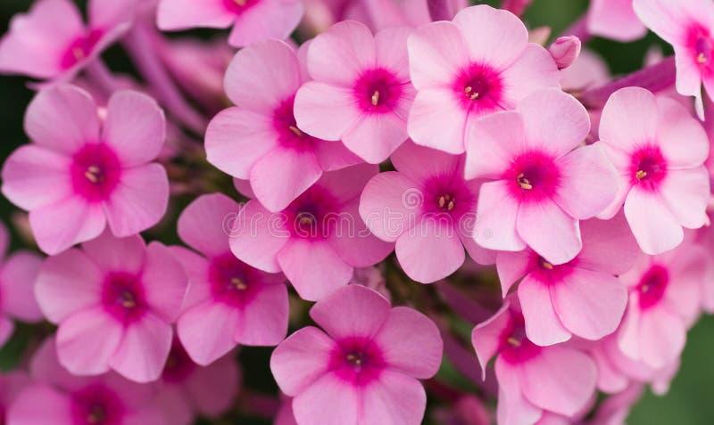 Flores cor-de-rosa do phlox foto de stock