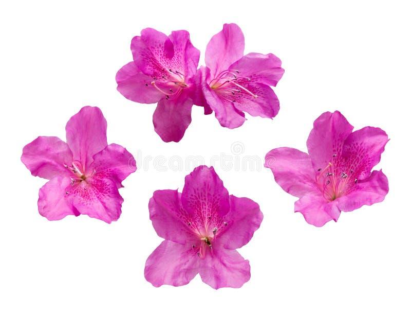 Flores cor-de-rosa do Rhododendron imagem de stock royalty free