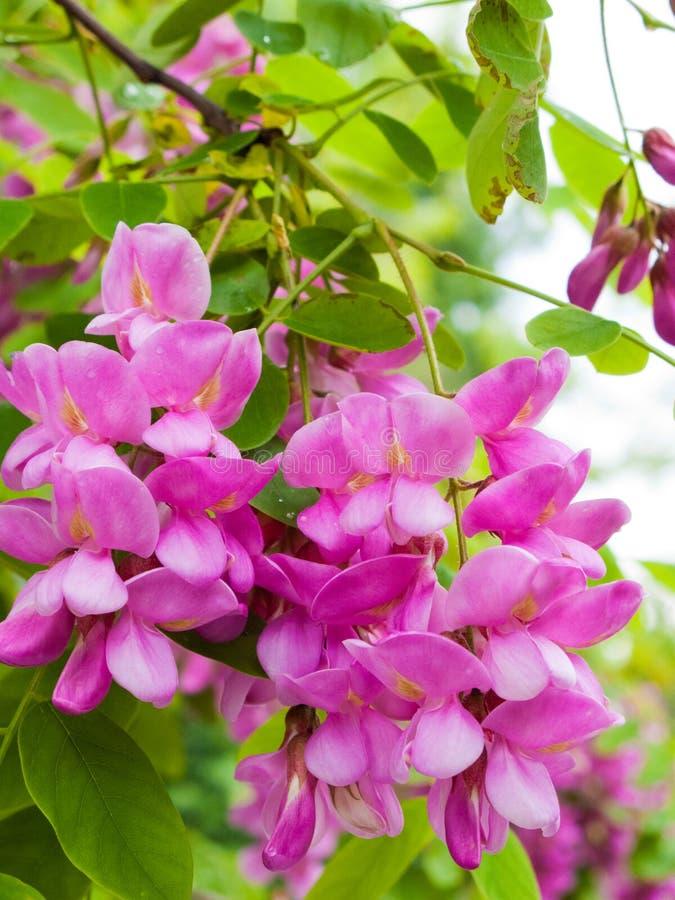 Flores cor-de-rosa do Robinia fotografia de stock royalty free