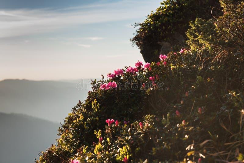 Flores cor-de-rosa do rododendro em montanhas Carpathian do verão imagem de stock