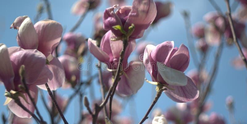 Flores cor-de-rosa do soulangeana da magnólia contra o céu azul imagem de stock