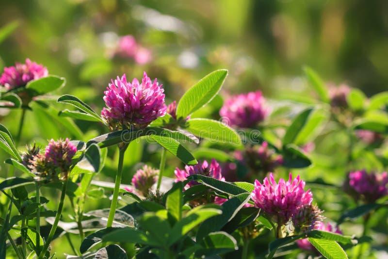 Flores cor-de-rosa do trevo no prado verde imagens de stock