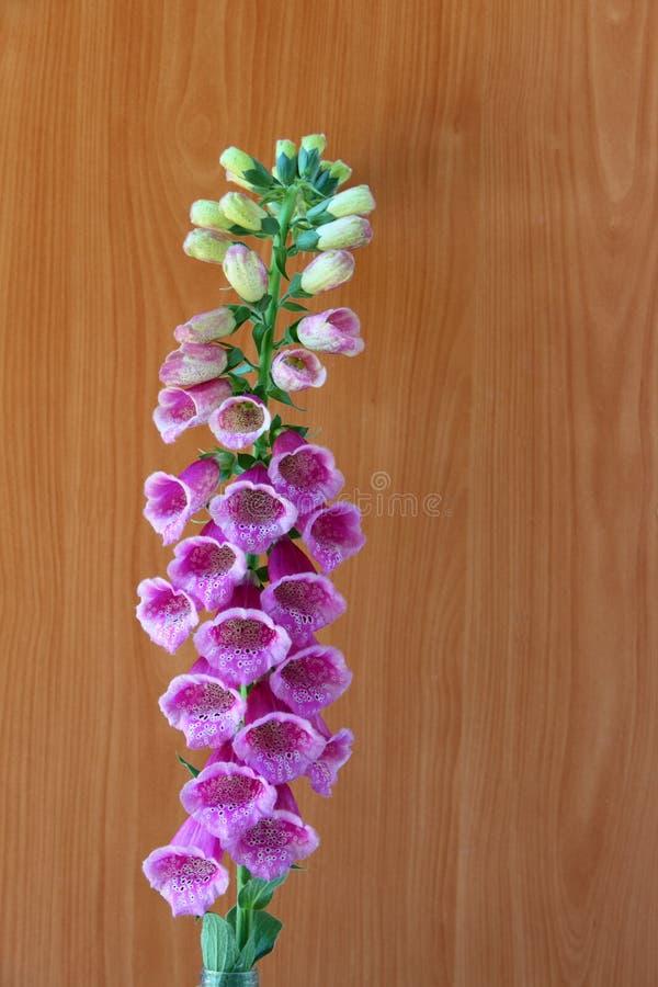 Flores cor-de-rosa dos Foxgloves fotos de stock royalty free