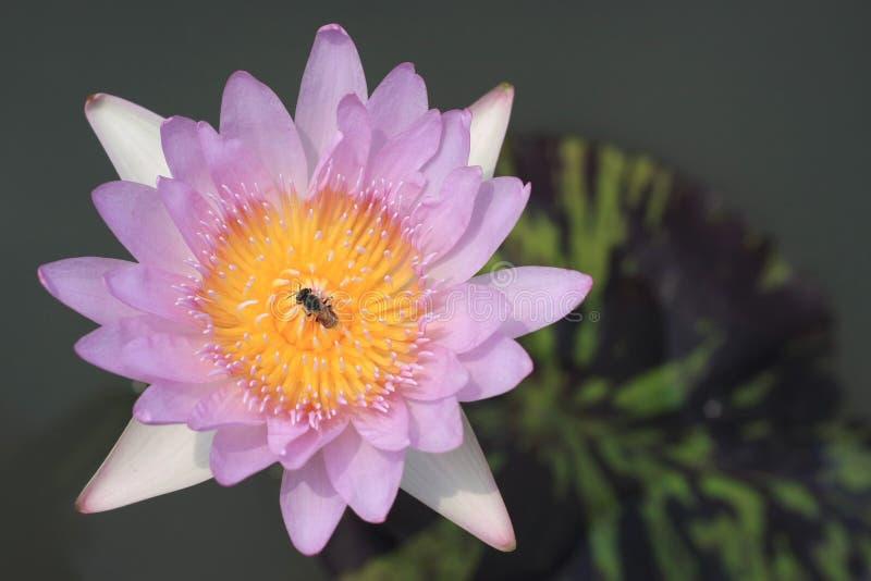 Download Flores Cor-de-rosa Dos Lótus Foto de Stock - Imagem de beleza, imagens: 12808190