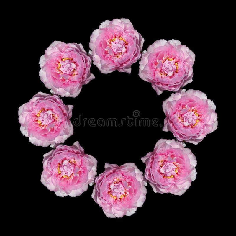 Flores cor-de-rosa dos peonies fotografia de stock royalty free