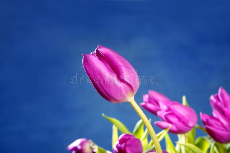 Flores cor-de-rosa dos Tulips no fundo azul do estúdio foto de stock royalty free