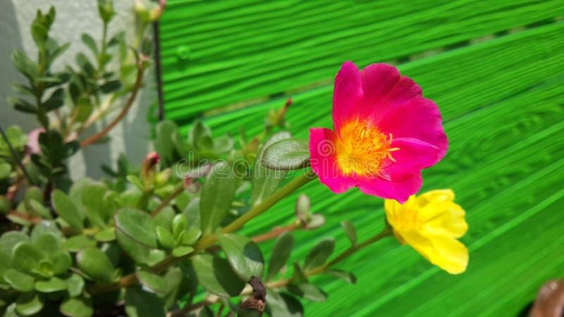 Flores cor-de-rosa e amarelas do purslane e cerca verde fotos de stock