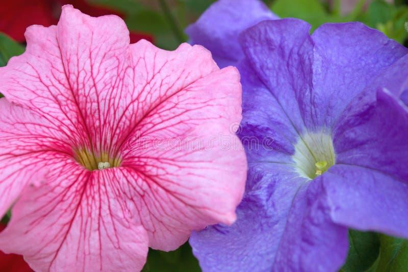 Flores cor-de-rosa e azuis do petúnia imagens de stock