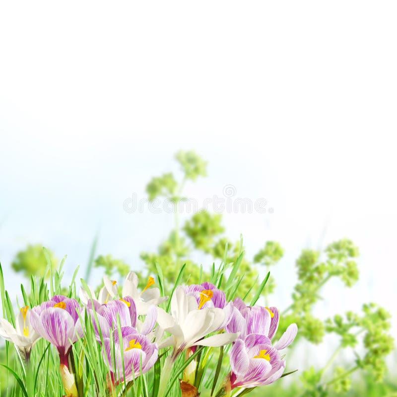 Flores cor-de-rosa e brancas da mola fotografia de stock royalty free