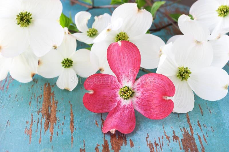 Flores cor-de-rosa e brancas do Dogwood imagem de stock