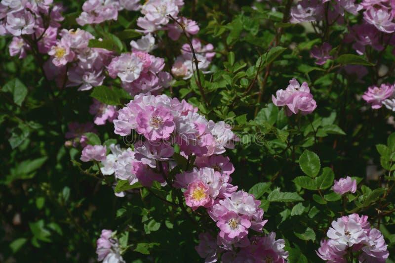 Flores cor-de-rosa e brancas do jardim fotos de stock royalty free