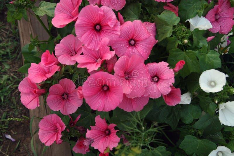 Flores cor-de-rosa e brancas do lavatera imagem de stock