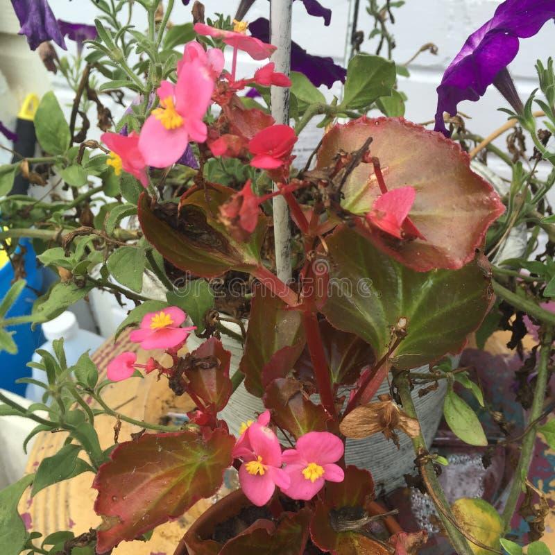 Flores cor-de-rosa e roxas fotos de stock royalty free
