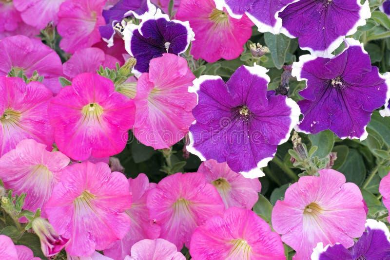 Flores cor-de-rosa e roxas do petúnia imagens de stock