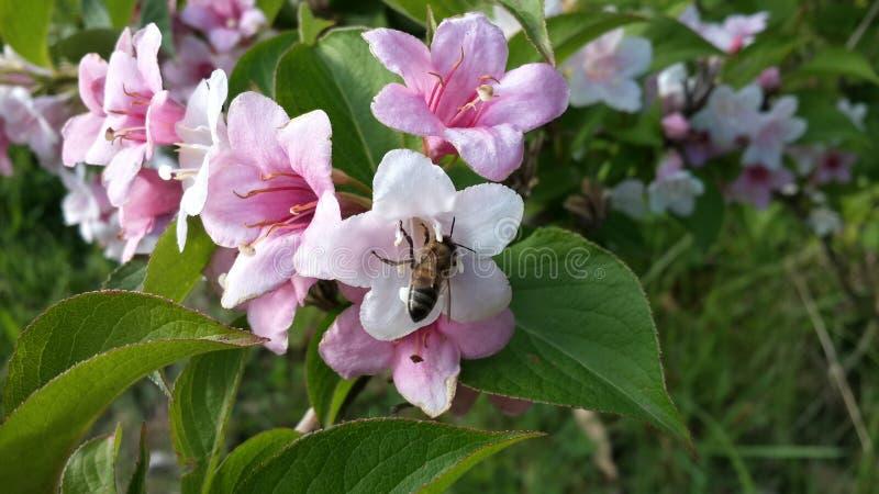 Flores cor-de-rosa e uma abelha imagem de stock