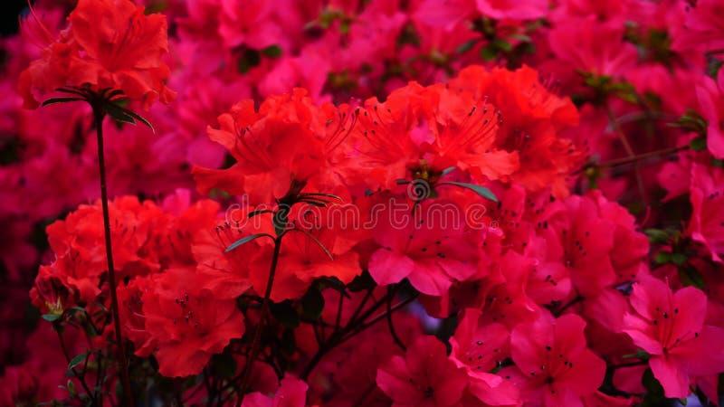 Flores cor-de-rosa e vermelhas que florescem no jardim foto de stock