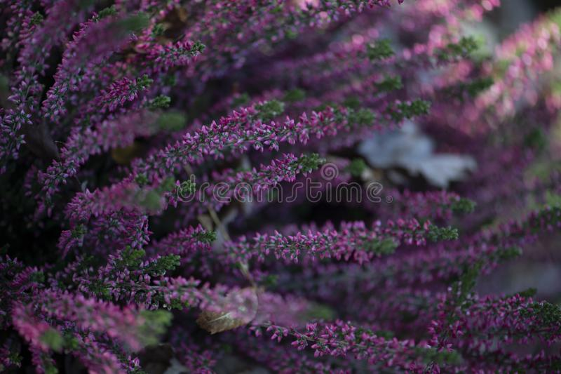 Flores cor-de-rosa em hastes da urze imagens de stock royalty free