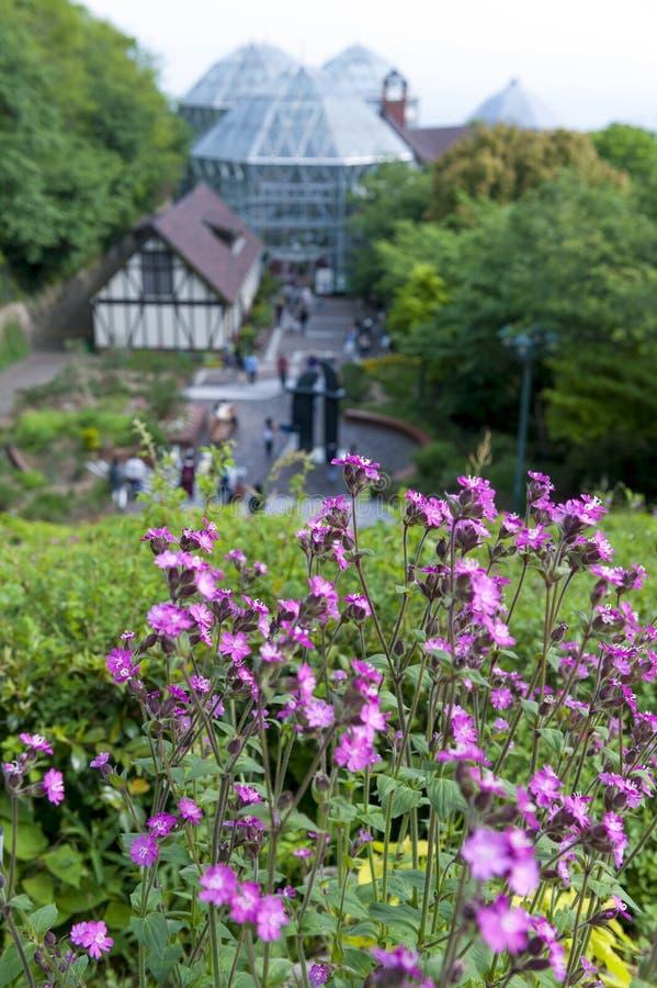 Flores cor-de-rosa em Nunobiki Herb Garden na montagem Rokko em Kobe, Japão fotos de stock royalty free