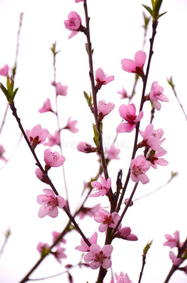 Flores cor-de-rosa em um ramo fotografia de stock royalty free