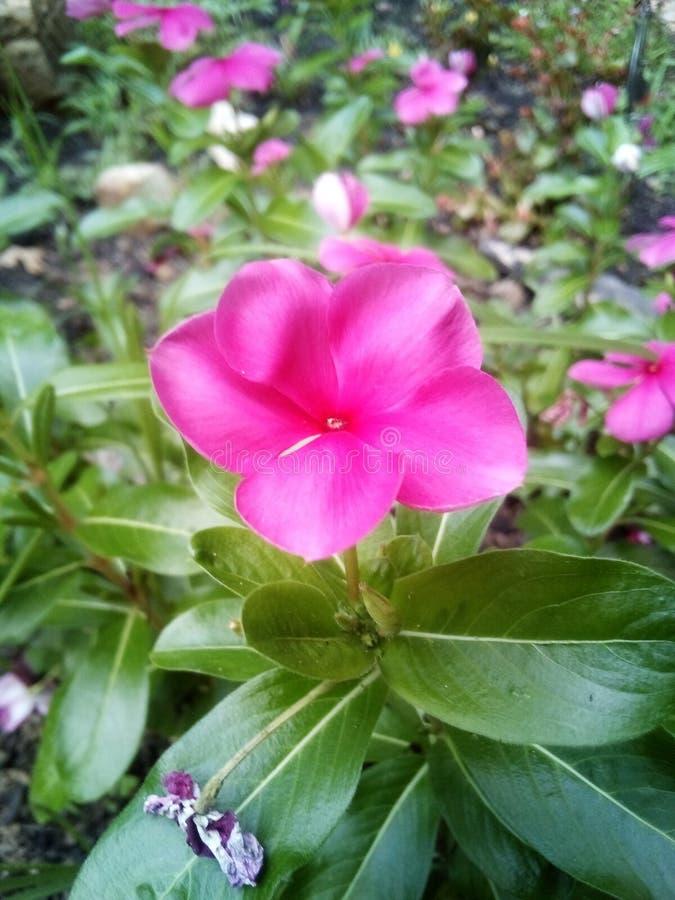 Flores cor-de-rosa em uma noite bonita imagens de stock