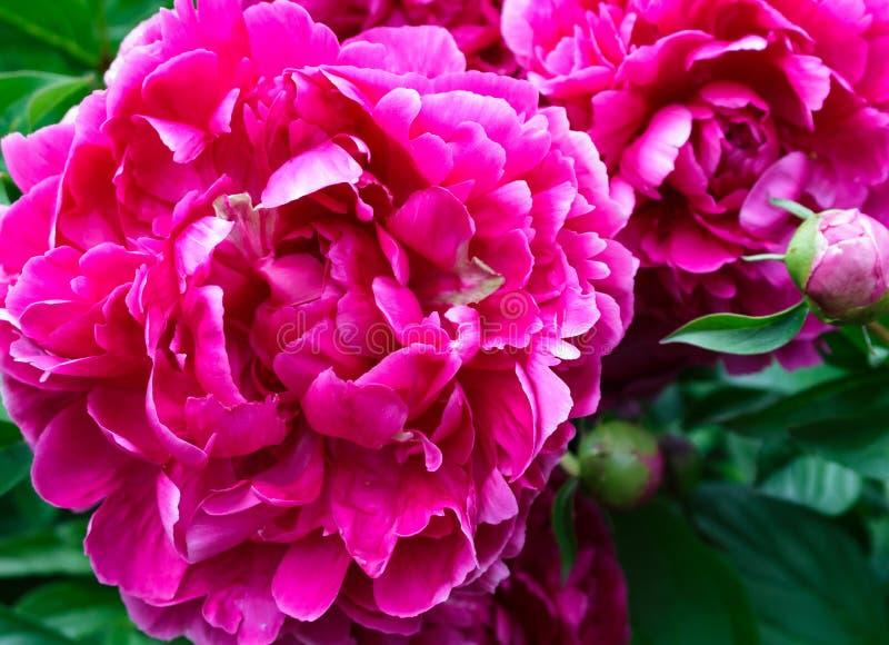 Flores cor-de-rosa escuras da peônia fotografia de stock