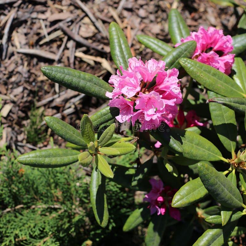 Flores cor-de-rosa de florescência da hortênsia e suas folhas verdes imagem de stock royalty free