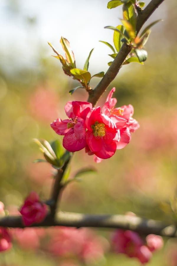 Flores cor-de-rosa de florescência do marmelo na perspectiva do jardim da mola imagens de stock royalty free