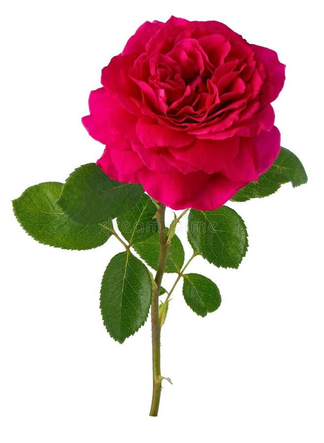 Flores cor-de-rosa de florescência Planta constante isolada no fundo branco imagem de stock